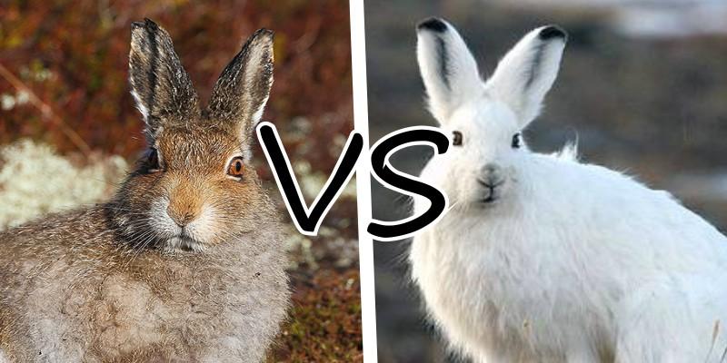 Задачка Какой заяц быстрее?