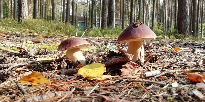 тест по грибам - белый гриб